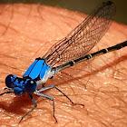 Blue Fronted Dancer