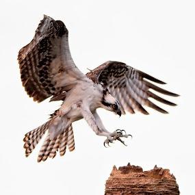 Sharp Talons by Andy Nguyen - Animals Birds ( bird, talons, sharp, landing, nature, wildlife, raptor, osprey )