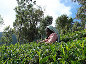 Photo: 7B220953 na plantacji herbaty