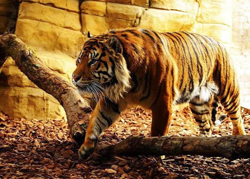 Ferocious tiger wallpapers