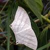 Micronia aculeata