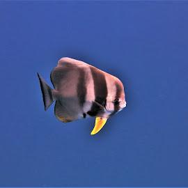 by Phil Bear - Animals Fish ( ocean, batfish, fish, underwater, maldives )