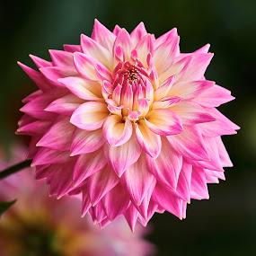 Dahlia 8693 by Raphael RaCcoon - Flowers Single Flower