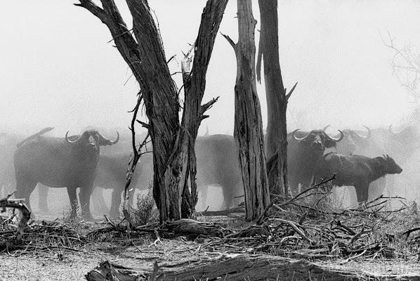 Buffaloes di rodolfok