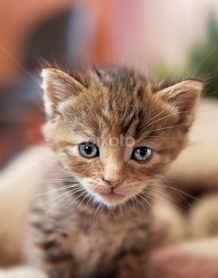 by Brook Kornegay - Animals - Cats Kittens ( cat, kitten, baby, feline, tabby )