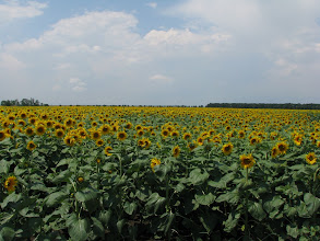 Photo: En route to Kaliakra, a sea of sunflowers. Many seas.