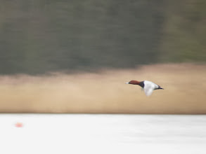 Photo: Priorslee Lake Speeding past in the early gloom, this at least shows the basic plumage and structure of this drake Pochard. (Ed Wilson)