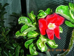 Photo: Superba variegated (34)