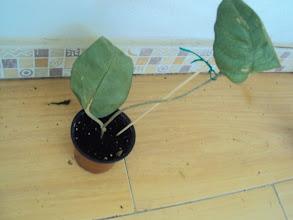 Photo: Hoya fungii regalo de Blanca Flores