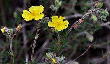 Photo: Fumana ericoides, Cistaceae