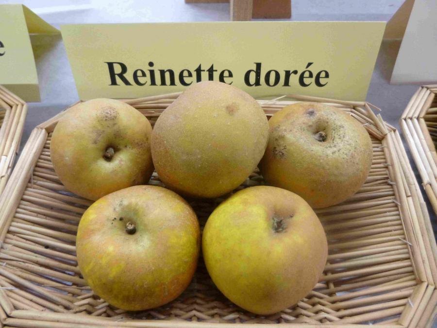 http://dinan.dinancommunaute.fr/conservatoire/sites/default/files/styles/fruit_full/public/fruits/pommes/photos_fruit/Reinette%20Dor%C3%A9e.JPG?itok=B2FquRHC