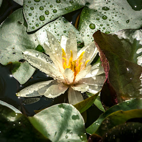 After the rain by Marina Denisenko - Nature Up Close Natural Waterdrops ( drops, water lilly, raindrops, waterlily, nymphaea, flower )