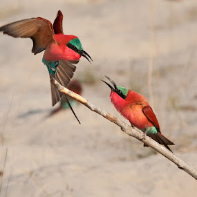 Get off my Perch. by Hennie Cilliers - Animals Birds ( carmine bee-eater., animal, motion, animals in motion, pwc76 )