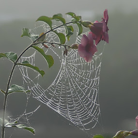 Dewy Morning by Don Kuhnle - Nature Up Close Webs ( foggy morning, dew, web, morning dew, dew drops, flower, spider web )
