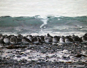 Photo: We saw a few hundred Rock Sandpipers along these rocky beaches