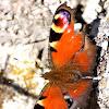 Mariposa pavo real; European peacock