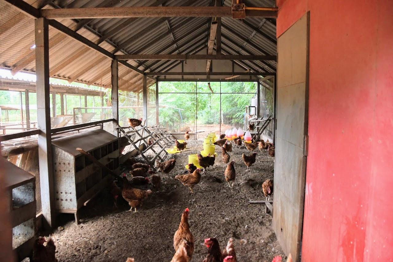 カオヤイ・モーポー牧場 鶏小屋の内部