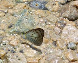 Photo: GRAY-BORDERED GREEN-EYED (PHILOMA)  WHITE--leptophobia philoma --RIO ANZU