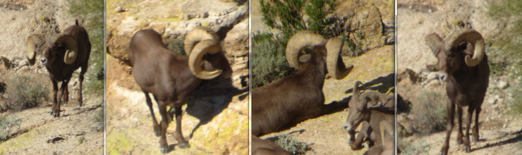 Photo: Photos by Jay Scott.  This is a ram that Seth and Ernie nicknamed Rocky.  We really liked this ram but knew there were bigger sheep in the unit.  He was later harvested by another hunter and scores 182-183.  Very Nice ram!