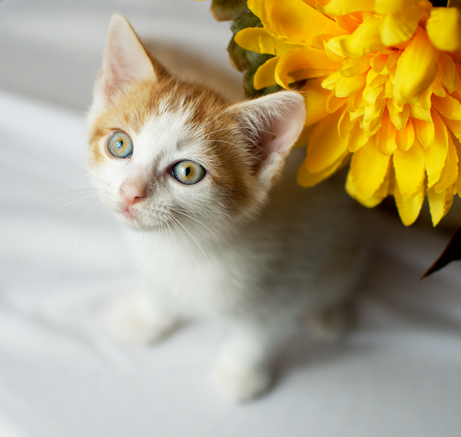 Creamsicle by Stacey Gammon - Animals - Cats Kittens ( kitten, cat, pet, baby, yellow, cute, flower )