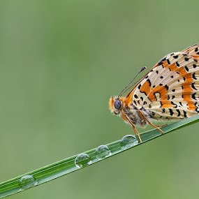 Melitaea Cinxia by Alberto Carati - Animals Insects & Spiders ( animal, butterfy )