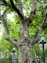 Photo: Montevideo -- Sycamore looks almost human in Plaza Cagancha, Montevideo, Uruguay