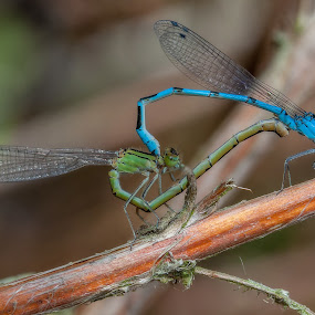 Love is... by Dave Angood - Animals Insects & Spiders ( macro, matimg, nature, blue, green, wings, insetcs, damselflies, stem, insect, branck, courtship )