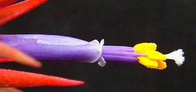 Photo: Tillandsia flower