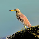 Chinese Pond Heron ( चाईनिज आसकोटे बकुल्ला )