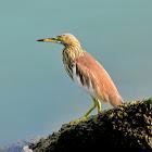 Chinese Pond Heron ( चाईनिज आसकोटे बकुल्ला )