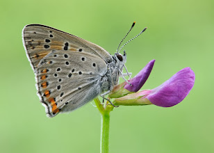 Photo: Lycaena tityrus, Cuivré fuligineux / Argus myope, Sooty Copper http://lepidoptera-butterflies.blogspot.fr/