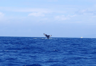 Photo: This picture of a breaching Humpback Whale was taken by Laurel. My picture wasn't as sharp. Our whale-watching boat traveled northwest of Kailua-Kona