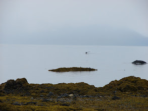 Photo: Two Humpback Whales pass my campsite in Stephens Passage.