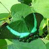 Emerald Swallowtail, Emerald Peacock, or Green-banded Peacock