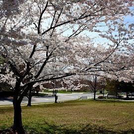 Springtime by Peter DiMarco - City,  Street & Park  Vistas ( springtime, streets, trees, vista, street scenes )