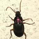 Vivid Metallic Ground Beetle