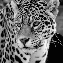 The jag by Gérard CHATENET - Black & White Animals