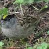 Golden crowned sparrow?