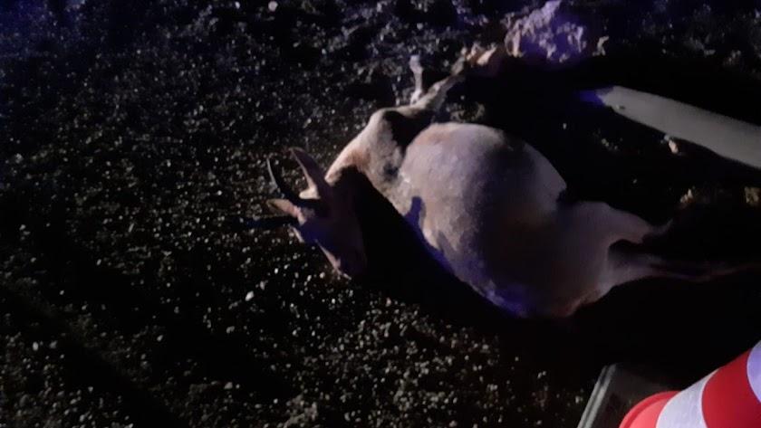 La cabra muerta por el impacto