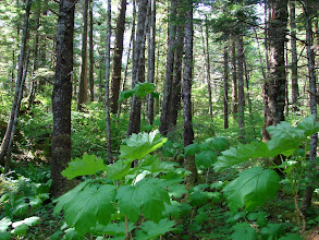 Photo: These Devil's Club plants in the woods behind my campsite have thorns that can cause sever skin irritation.