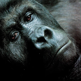 Sad Eyes of a Beast... by Avishek Patra - Animals Other Mammals (  )