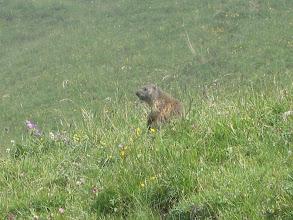 Photo: Auf der Weide leben Alpenpfeifschweine....ähm Murmeltiere :)