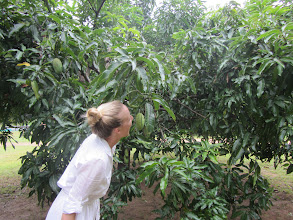 Photo: Look Mom, I have a Mango Tree! (Habarana)