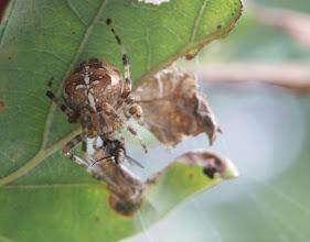 Photo: Garden Spider