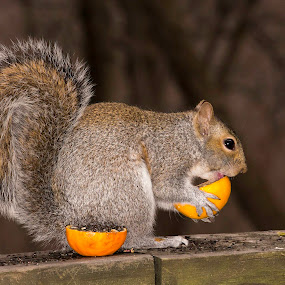 Orange Eater by Irv Freedman - Animals Other Mammals ( fruit, fur, oranges, rodent, squirrel )