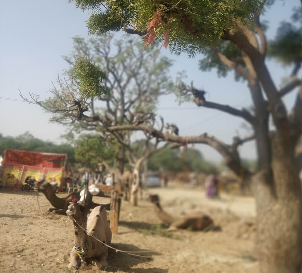 camel+under+tree+pushkar+cattle+festival