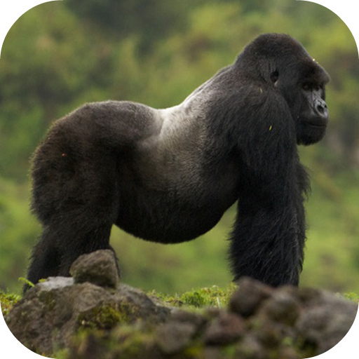 App Insights Gorilla Wallpapers Hd Apptopia