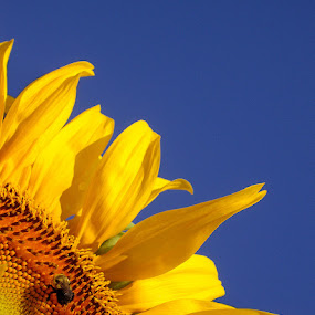 Bee on a Sunflower by Peggy LaFlesh - Nature Up Close Flowers - 2011-2013 ( Hope )