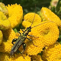 Swollen-thighed beetle (male), œdémère noble (mâle)