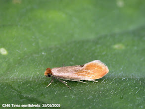 Photo: 0246 Tinea semifulvella